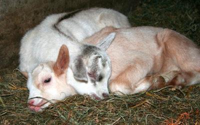 Journées pour les enfants à la Chèvrerie de Vissoul